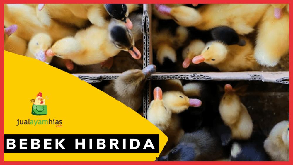 Bebek hibrida jualayamhias.com Jual Ayam Hias HP : 08564 77 23 888 | BERKUALITAS DAN TERPERCAYA DOD/BIBIT BEBEK PEDAGING & PETELUR
