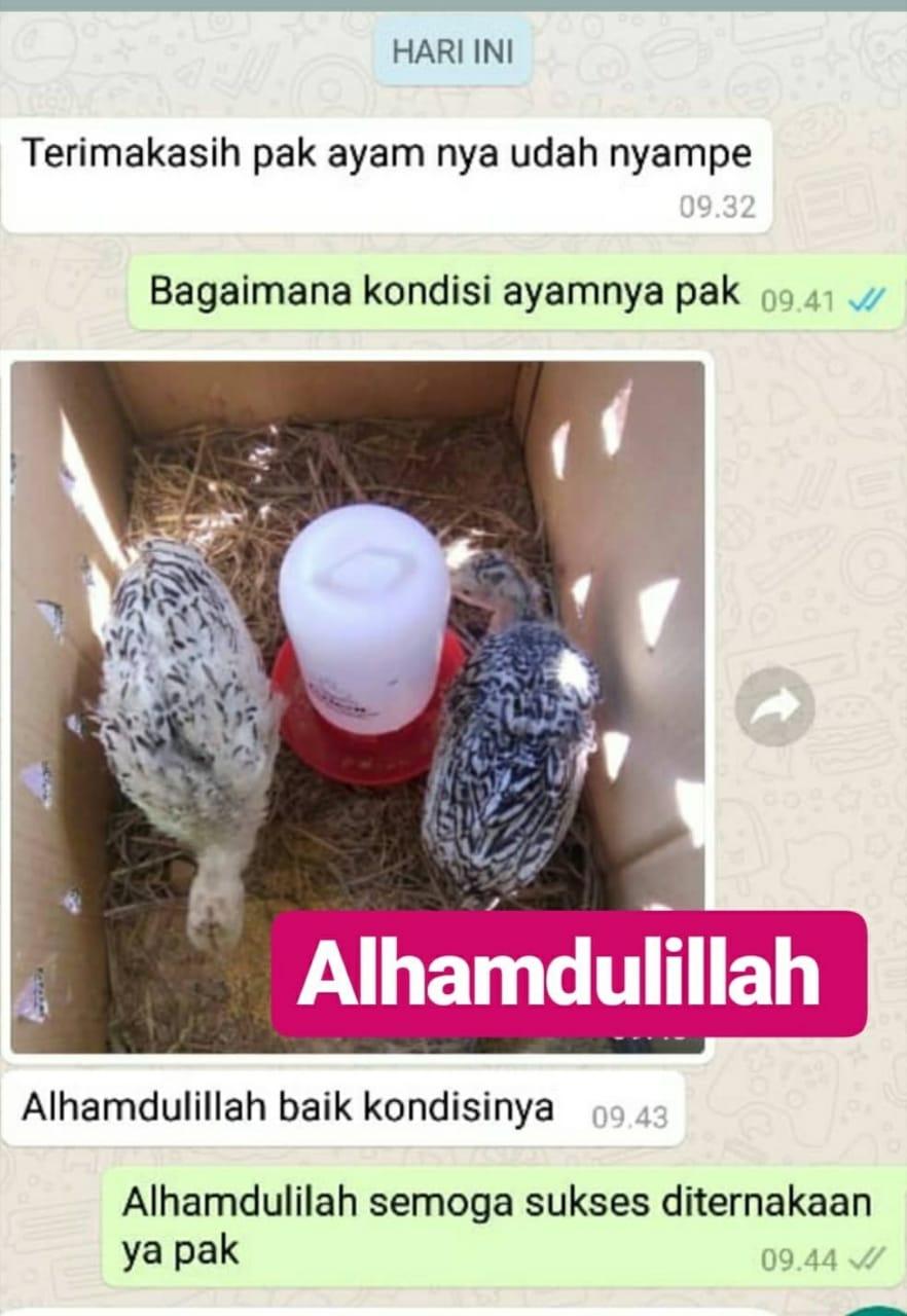 Testimoni ayam hias