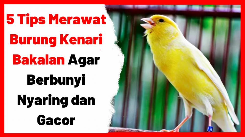 5 Tips Merawat Burung Kenari Bakalan Agar Berbunyi Nyaring dan Gacor | Cover