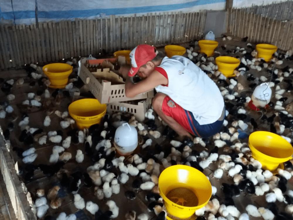 P. Tommy Manado Jual Ayam Hias HP : 08564 77 23 888   BERKUALITAS DAN TERPERCAYA PROMO JOPER FIX