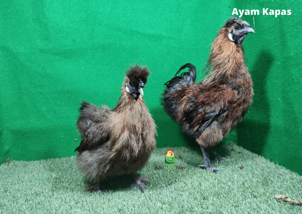 Ayam Kapas Coklat Usia Dewasa