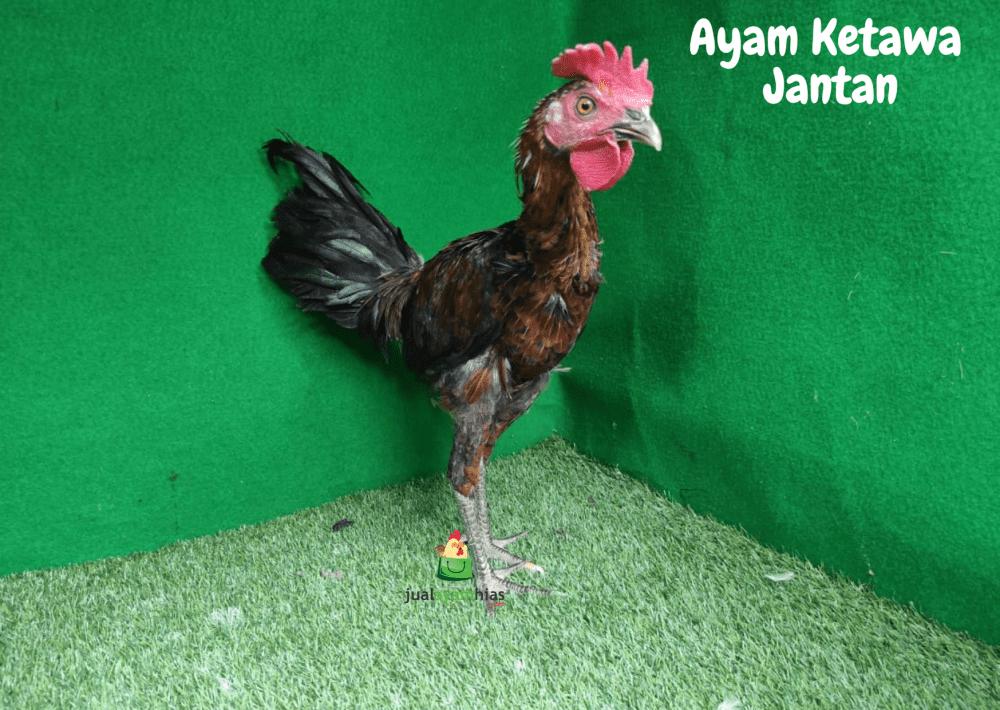 Ayam Ketawa Jantan 5 Bulan