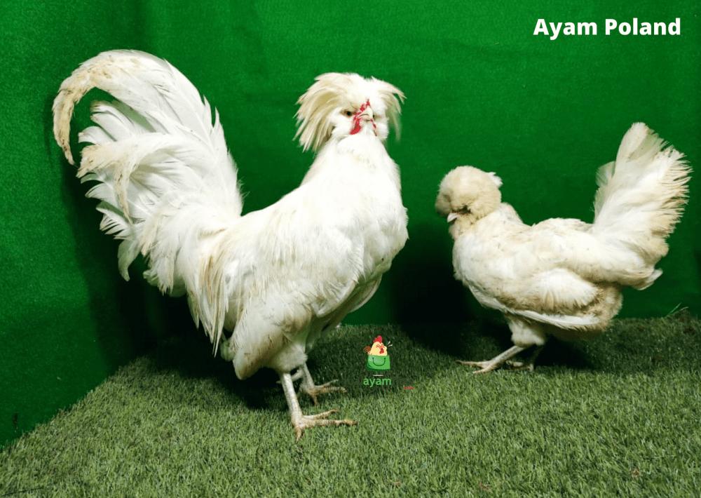 Ayam Poland Indukan