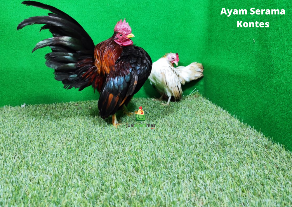 Ayam Serama Kontes Usia Dewasa