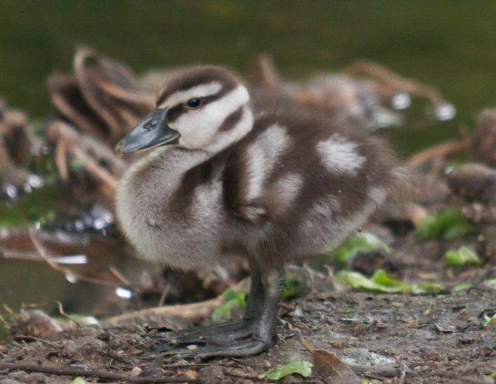 Berikut merupakan salah satu foto anak Burung Belibis, lucu ya | images 2