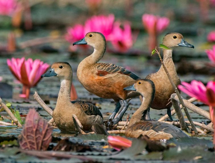 Burung Belibis terlihat sangat cantik di antara bunga teratai | images 4