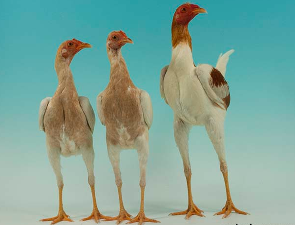 Harga jual ayam Modern Game memiliki harga yang cukup terjangkau | image 5