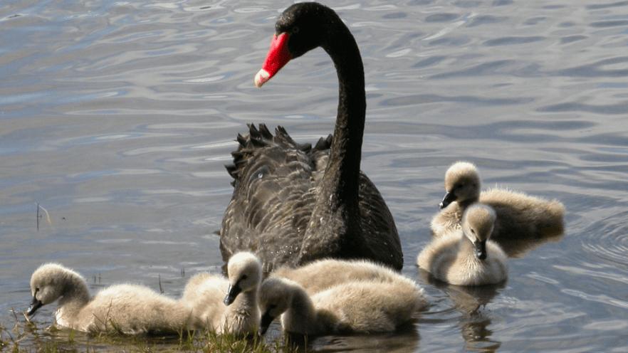 Anakan angsa hitam (black swan) | Image 2
