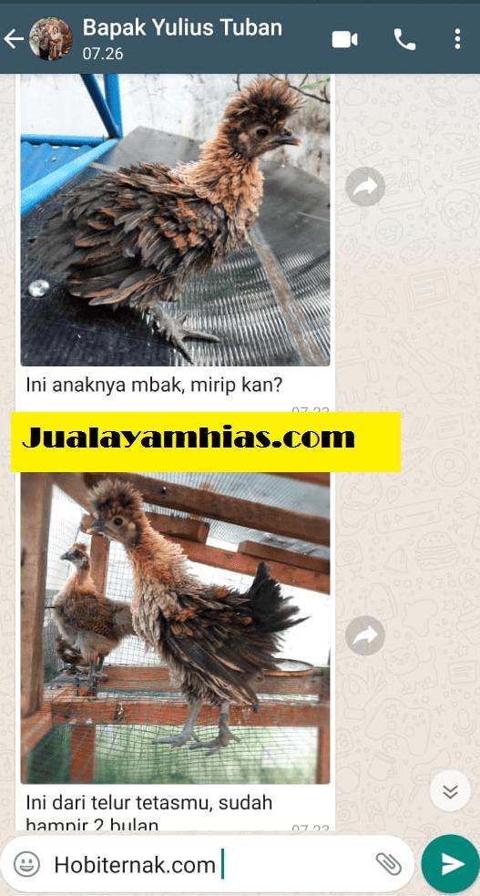 Pak Yulius Telur kapas dan poland Surabaya testimoni jualayamhias Jual Ayam Hias HP : 08564 77 23 888 | BERKUALITAS DAN TERPERCAYA testimoni jualayamhias Testimoni Jualayamhias